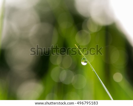 Water Drop Perched on The Rice Leaf in The Morning