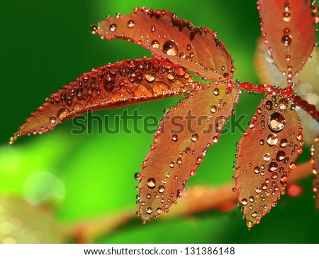 Water Droplet on Rose leaf - stock photo