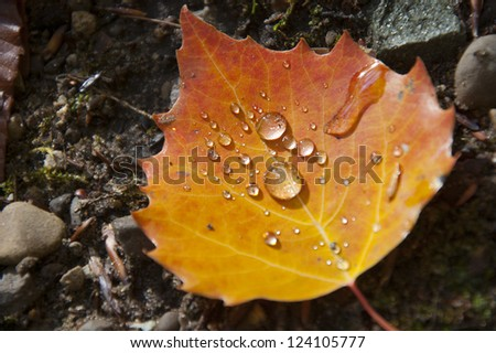 Water droplets collected in autumn leaf