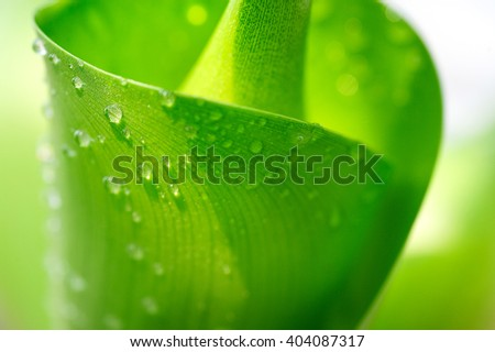 Water droplets on leaf, Beautiful natural background, Green leaf background, Macro of leaf