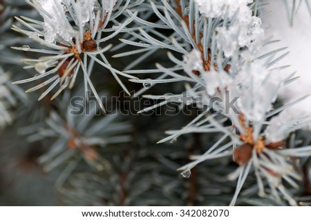 water droplets on the needles of the blue spruce - stock photo
