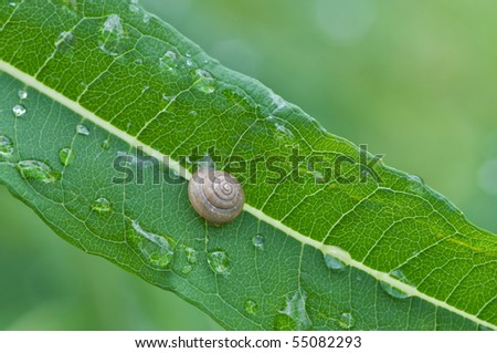 water drops and snail on leaf (shallow depth of field) - stock photo