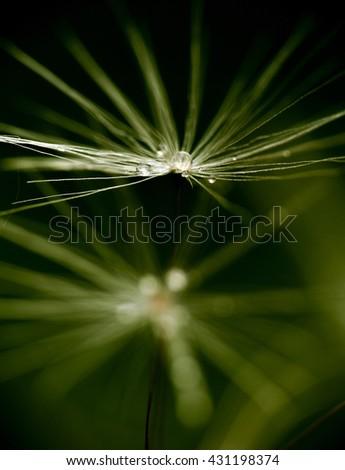 Water drops on dandelion - stock photo