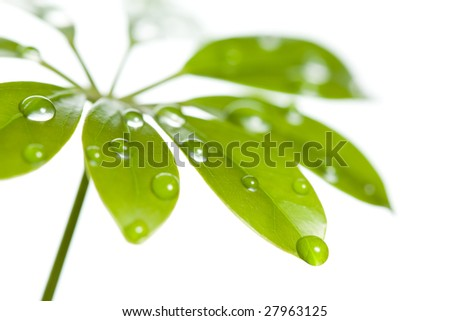Water drops on fresh green leaf, isolated on white - stock photo