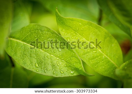 water drops on green leaves in the garden - stock photo