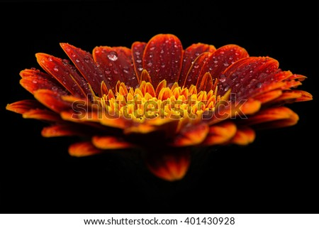 Water drops on orange gerbera flower isolated on black background - stock photo