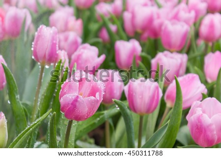 water drops on pink tulips in the garden