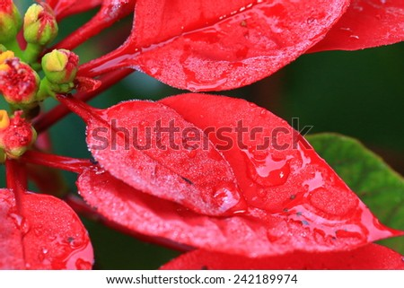 Water Drops On Red Leaf  - stock photo
