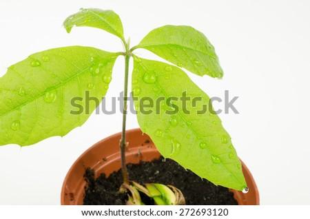 water drops on red oak seedling - stock photo