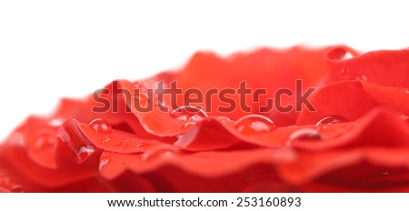 Water drops on rose petals, close-up
