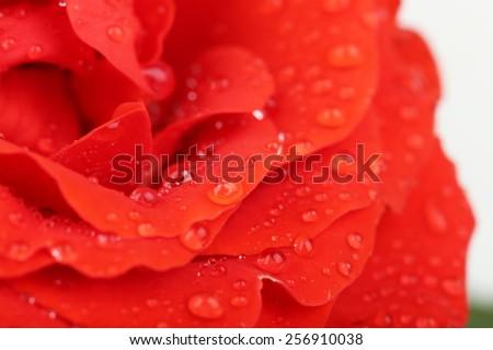 Water drops on rose petals, close-up - stock photo
