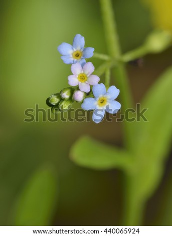 Water Forget-me-not - Myosotis scorpioides