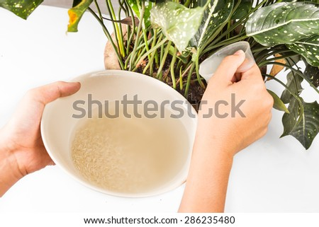 Water from rice rinse being used as natural fertilizer on potted plant  - stock photo
