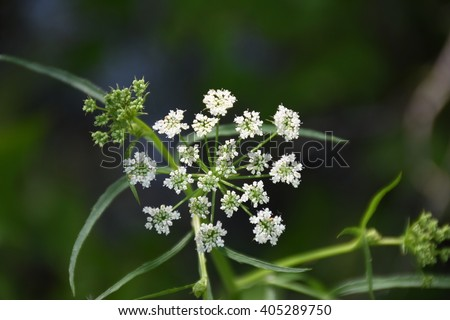 water hemlock wildflower in green background - stock photo