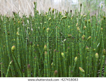 Water horsetail (Equisetum fluviatile) colony at spring