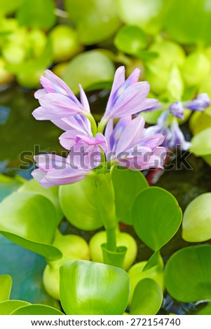 Water hyacinth (Eichhornia crassipes) flower in the pond. - stock photo