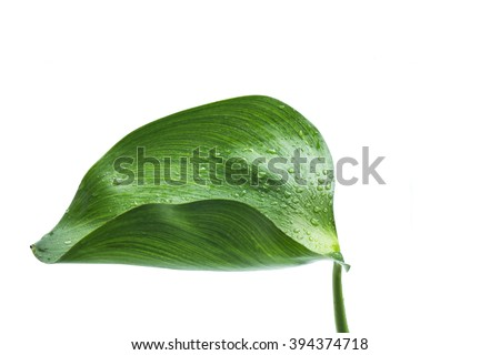 Water Hyacinth (Eichhornia crassipes). Plant with leaves isolated on white background.
