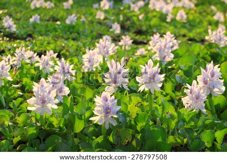water hyacinth as food for rabbit Which animals eat eichhornia crassipes (common water  water hyacinth  it displaces native aquatic plants used for food or shelter by.