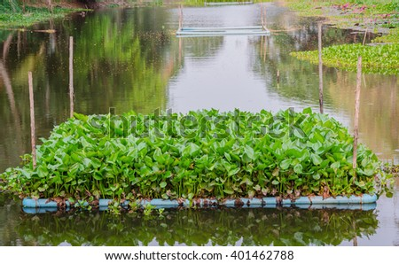 Water hyacinth in the river - stock photo