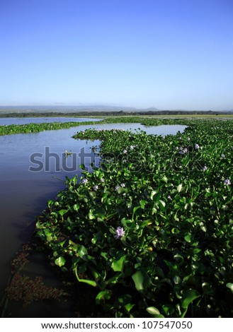 Water Hyacinth on Lake Naivasha Kenya Africa - stock photo