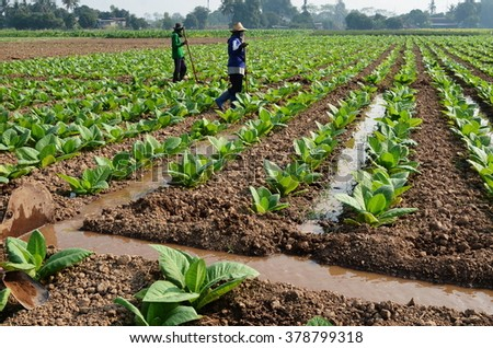 Water in tobacco field. - stock photo