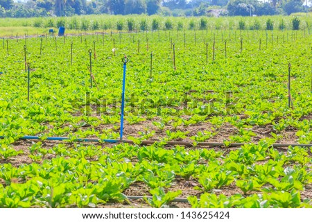 water irrigation of vegetable field - stock photo