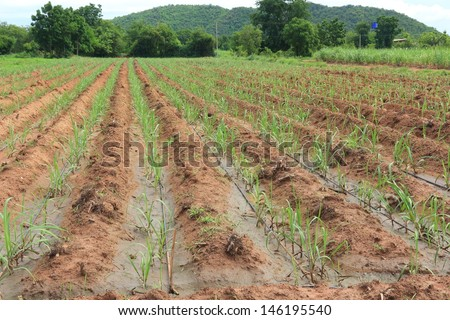stock-photo-water-irrigation-system-on-a-field-with-a-sugar-cane-farm-plentifully-146195540.jpg