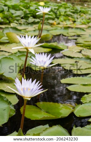 Water lilies in pond - stock photo