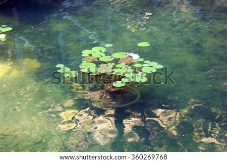 Water lilies in the swamp - stock photo