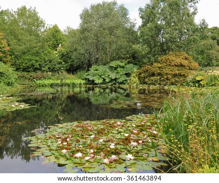 Water Lilies (Nymphaea, variety 'Rose Arey') in a Lake with Gunnera Manicata Reflecting in the Water Behind in Devon, England, UK - stock photo