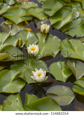 water lilies on a lake they are in flower - stock photo