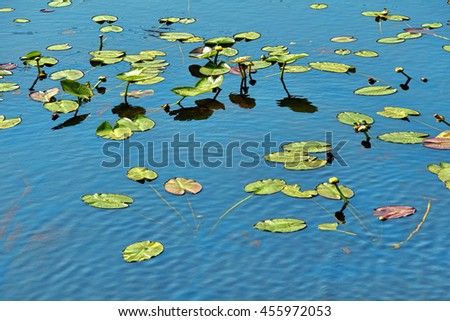 water lilies on lake surface