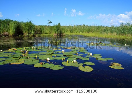 water lilies on small lake - stock photo