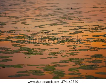 water lilies on the lake at sunset.Shallow depth of field - stock photo