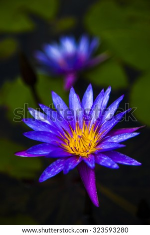 water lilly in garden - stock photo