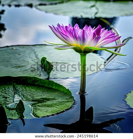 Water Lilly isolated - stock photo