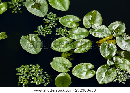 water lilly leaves - aquatic vegetation - stock photo