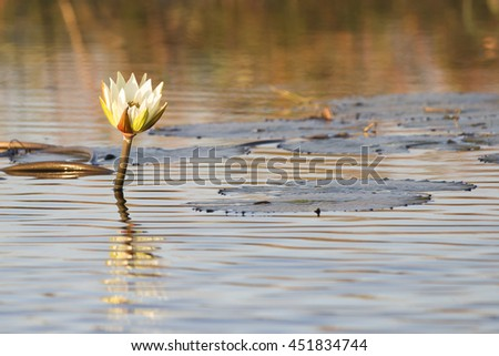 Water Lilly on the Chobe River, Kasane Botswana