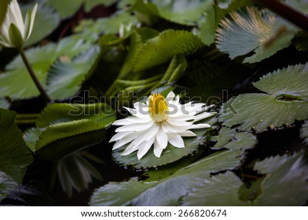 Water lily. - stock photo
