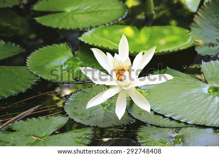 Water Lily and green leaves,beautiful white flower blooming in the pond in summer - stock photo