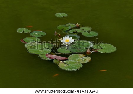Water lily aquatic plant with white flower floating in pond with red fish. - stock photo