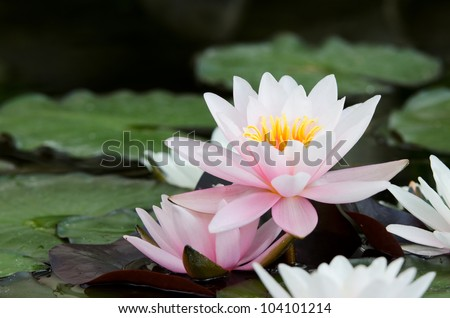 water lily background - stock photo