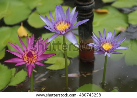 Water lily beautiful in the pond, multicolor closed up
