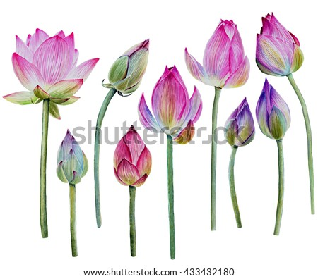 Water Lily buds or lotus flower buds. Hand drawn, watercolor, isolated on white background. - stock photo