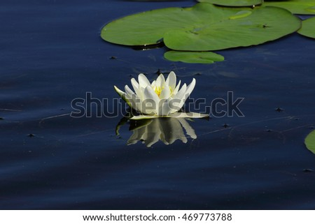 water Lily floating on blue water surface and its white petals are reflected in the mirrored surface of the pond
