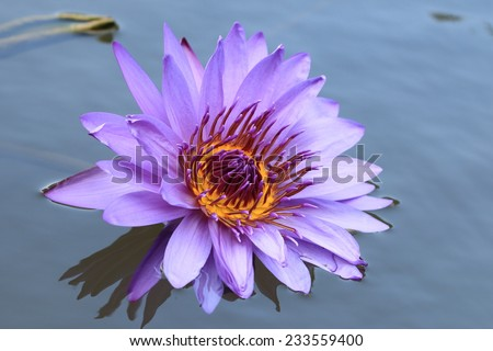 Water Lily flower,closeup of purple Water Lily flower in the pond  - stock photo