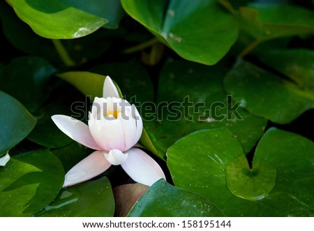 Water lily flower in a pond - stock photo