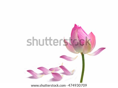 Water lily flower lotus green background stock photo 100 legal water lily flower lotus and green background the lotus flower water lily mightylinksfo