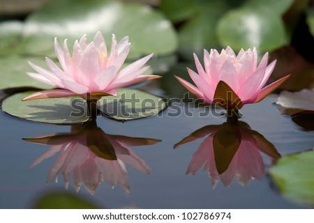 Water Lily Flower or lotus flower - stock photo