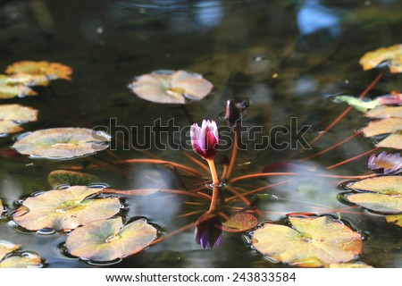 Water Lily flower,purple Water Lily flower bud and leaves in the pond  - stock photo
